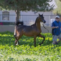 2014 Filly out of SH Tinkerbell, by Ferrer (Enzo)